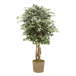 Ficus Tree (6 ft.)